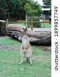 Australia Cute Kangaroo Wild...