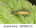 Small photo of False blister beetle, Chrysanthia, Oedemeridae beetle on leaf