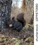 Squirrel Eats A Walnut On A...