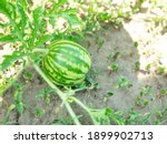 Small Green Watermelon Is...