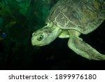 Small photo of Cloe, the Kemp's Ridley Sea turtle close up, Moody Gardens Aquarium Pyramid, Galveston, Texas