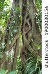 Roots Of Bicentennial Tree...