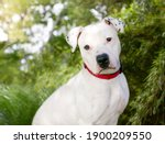 A white dalmation x pit bull...