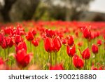 Tulip field in full bloom, on Chios island Greece