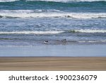 The American Oystercatcher ...