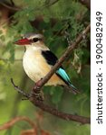 The Brown Hooded Kingfisher ...
