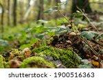 Cep Mushroom Grow In Forest...