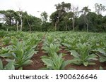 Small photo of This farmer has planted his fields with tobacco Tobacco (Nicotiana tabacum), its large leaf structure is the causation of the plant absorbing many nutrients and minerals into its structure.