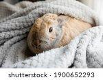Pet Rabbit In Warm Blanket With ...