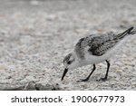Sanderling. Calidris Alba....
