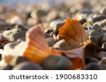 Shell And Autumn Leaf Sitting...