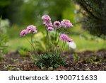 Beautiful Pink Gardenflowers  ...