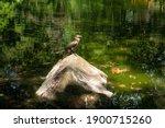 The Neotropic Cormorant Or...