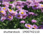 Beautiful Pink Colored Aster  ...
