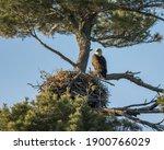 A Bald Eagle Looks On While...