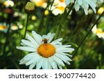 Bee On A Daisy. Yellow Bee On A ...