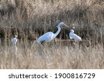 A Great Egret And Two Snowy...