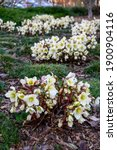 Small photo of Winter blooming flowers in a parking lot garden median, white blooms of Winter's Bliss Hellebore