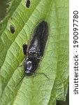 Small photo of Athous click beetle on green leaf