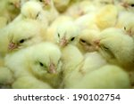 Group Of Newly Hatched Chicks...