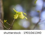 Young Oak Branch With Green...