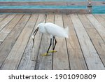 Snowy Egret Eating Fish On Pier