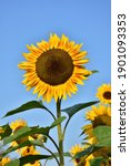 Close Up Of Sunflower Against A ...