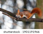 Rusty Squirrel Runs In The Park ...