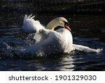 Swan Splashing Water On Lake