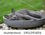 Russian Gray Cat Resting In The ...
