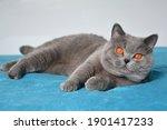 Blue British Shorthair Cat ...