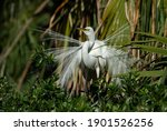 A Great Egret In Florida