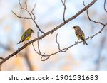 Two Green And Yellow Songbird ...