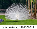 White Peacock With Its Splendid ...