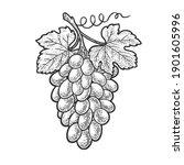 bunch of grapes sketch... | Shutterstock . vector #1901605996