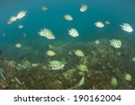 Small photo of A school of Staghorn damselfish (Amblyglyphidodon cura�§ao) feed on invisible planktonic organisms above a coral reef in Palau, Micronesia.