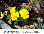 Bunch Of Yellow Wild Pansy Or...