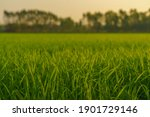 Cornfield In The Sunset   With...