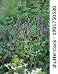 Brown Seedheads Of Giant Hyssop ...