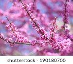 Purple Spring Blossom. Cercis...
