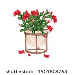 Blooming Christmas Cactus In A...