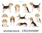 beagle infographic. different... | Shutterstock .eps vector #1901945089