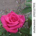 Natural Rose   Beautiful Roses  ...