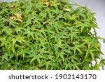bonsai tree foliage. japanese... | Shutterstock . vector #1902143170