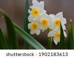 Beautiful Spring Time Daffodils ...