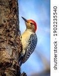 Cute Red Bellied Woodpecker...