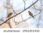 Two Green And Yellow Songbirds  ...