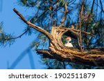 Middle Spotted Woodpecker In A...