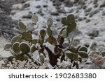 A Prickly Pear Cactus Growing...