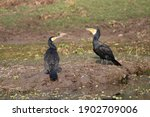 View Of Two Cormorants At...